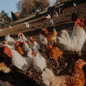 Die Freilandhühner freuen sich immer über einen Besuch